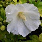 Hibiscus s. Totus Albus