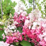 Hydrangea p. Pinky Winky